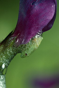 Froghopper (Cercopidae) larva concealed in protective frothy secretion called cuckoo spit  -  Stephen Dalton