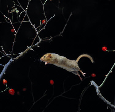 Common Dormouse (Muscardinus avellanarius) leaping, using tail as balance  -  Stephen Dalton