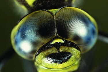 Southern Hawker Dragonfly (Aeshna cyanea) compound eyes  -  Stephen Dalton