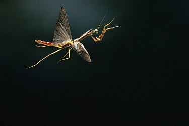Mantid (Stagmomantis sp) flying, Florida  -  Stephen Dalton