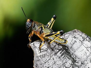 Desert Locust (Schistocerca gregaria), gregarious nymph, native to Africa, Europe and Asia  -  Stephen Dalton