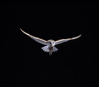 Barn Owl (Tyto alba) flying  -  Stephen Dalton