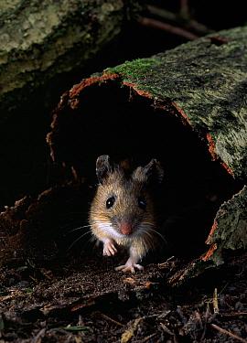 Yellow-necked Field Mouse (Apodemus flavicollis) peeking from hollow log  -  Stephen Dalton