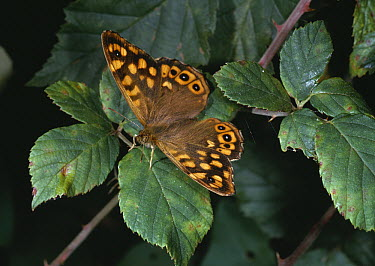 Speckled Wood (Pararge aegeria) butterfly on foliage, France  -  Stephen Dalton
