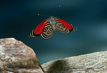 Eighty-nine (Diaethria marchalii) butterfly flying, Venezuela  -  Stephen Dalton
