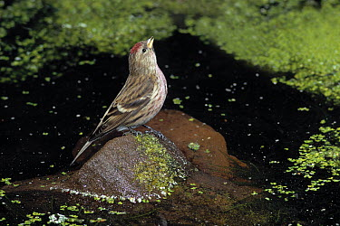 Common Redpoll (Carduelis flammea) drinking  -  Stephen Dalton