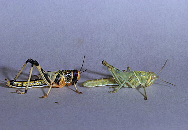 Desert Locust (Schistocerca gregaria) gregarious phase on left and solitary phase on right  -  Stephen Dalton