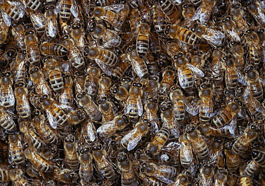 Honey Bee (Apis mellifera) swarm  -  Stephen Dalton
