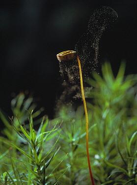 Polytrichum Moss (Polytrichum sp) dispersing spores onto air currents  -  Stephen Dalton