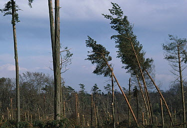 Hurricane damage to trees following hurricane of October 1987, Ashdown Forest, Sussex, England  -  Stephen Dalton