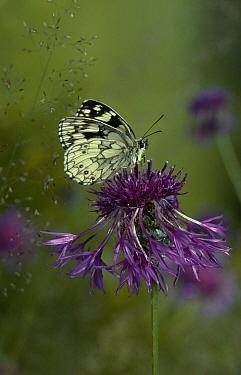 Marbled White (Melanargia galathea) butterfly on knapweed  -  Stephen Dalton