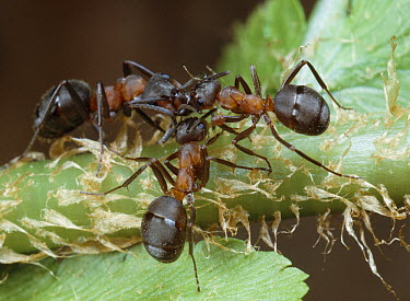 Red Wood Ants (Formica rufa) communicating by touching antennae  -  Stephen Dalton