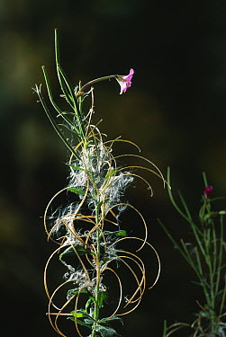 Great Willowherb (Epilobium hirsutum) with flower and ripe seeds, example of wind dispersal  -  Stephen Dalton