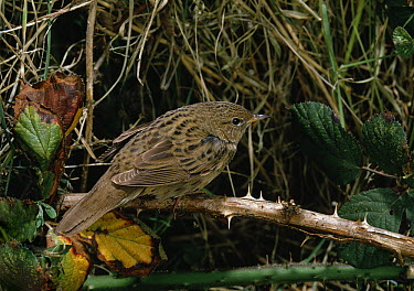 Grasshopper Warbler (Locustella naevia) perching on dead bramble  -  Stephen Dalton