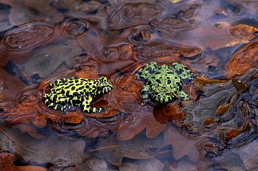 Oriental Fire-bellied Toad (Bombina orientalis) pair in water  -  Stephen Dalton