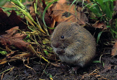Field Vole (Microtus agrestis) nibbling on food while sitting in vegetation and leaf litter  -  Stephen Dalton
