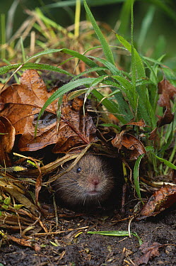 Field Vole (Microtus agrestis) peeking from hole  -  Stephen Dalton