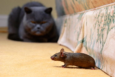 Domestic Cat (Felis catus) and House Mouse, cat intently watching mouse on carpet by furniture  -  Stephen Dalton