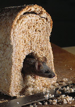 House Mouse (Mus musculus) climbing from half loaf of bread  -  Stephen Dalton
