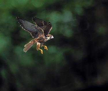 Lanner Falcon (Falco biarmicus) flying  -  Stephen Dalton