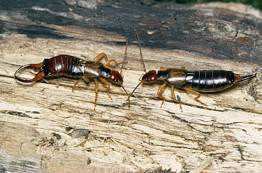 Common Earwig (Forficula auricularia) male on left and female on right  -  Stephen Dalton