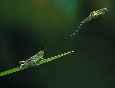 Grasshoppers on blade of grass  -  Stephen Dalton