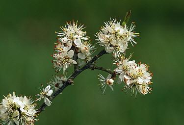 Blackthorn (Prunus spinosa) blossom  -  Stephen Dalton