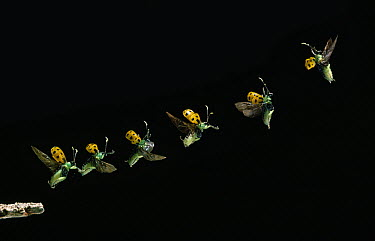 Leaf Beetle (Diabrotica limitata quindecimpunctata) taking off, Venezuela  -  Stephen Dalton