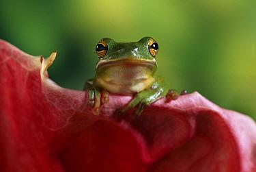 Green Tree Frog (Hyla cinerea) on flower petal  -  Stephen Dalton