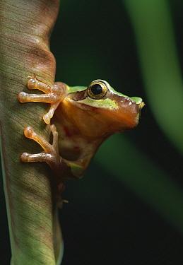 Black-spotted Frog (Rana nigromaculata) portrait, close up  -  Stephen Dalton