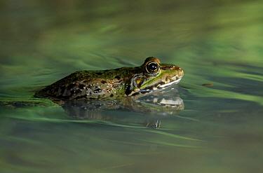 Marsh Frog (Rana ridibunda) partially submerged in rippling water  -  Stephen Dalton