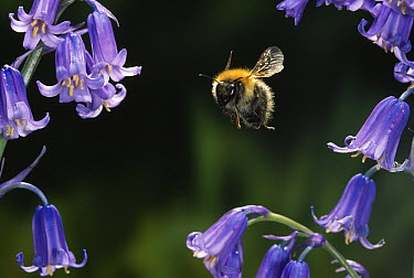 Brown Bumblebee (Bombus pascuorum) flying over bluebell  -  Stephen Dalton