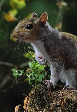 Eastern Gray Squirrel (Sciurus carolinensis)  -  Stephen Dalton
