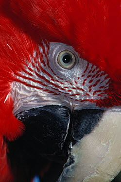 Red and Green Macaw (Ara chloroptera) face  -  Stephen Dalton