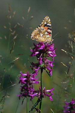 Painted Lady (Vanessa cardui) butterfly on flower  -  Stephen Dalton