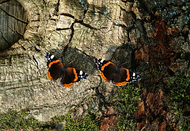 Red Admiral (Vanessa atalanta) butterflies sipping oak sap  -  Stephen Dalton