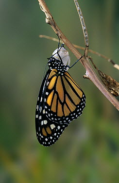 Monarch (Danaus plexippus) butterfly drying wings after emerging from chrysalis  -  Stephen Dalton