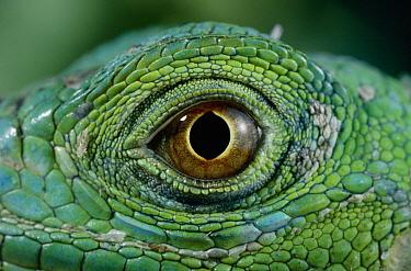Green Iguana (Iguana iguana) eye  -  Stephen Dalton