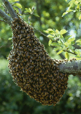 Honey Bee (Apis mellifera) swarm on branch of tree  -  Stephen Dalton