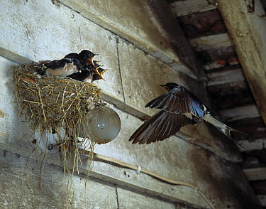 Barn Swallow (Hirundo rustica) flying to nest, with food for young  -  Stephen Dalton