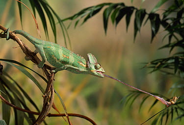Veiled Chameleon (Chamaeleo calyptratus) striking at insect extended tongue  -  Stephen Dalton