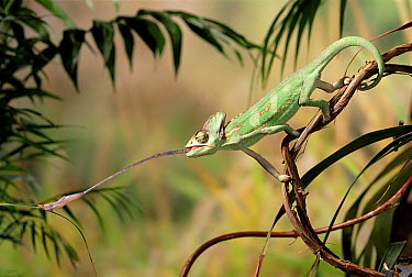Veiled Chameleon (Chamaeleo calyptratus) striking at cricket with tongue  -  Stephen Dalton