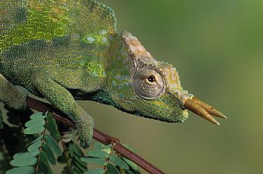 Cameroon Sailfin Chameleon (Chamaeleo montium)  -  Stephen Dalton