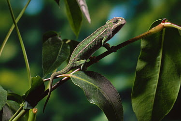 Jeweled Chameleon (Furcifer lateralis) on thin branch  -  Stephen Dalton
