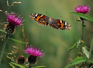 Painted Lady (Vanessa cardui) butterfly flying over knapweed  -  Stephen Dalton