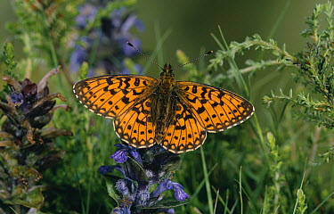 Small Pearl-bordered Fritillary (Boloria selene) on bugle  -  Stephen Dalton