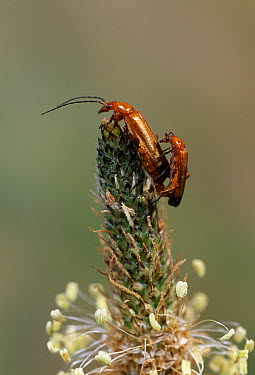 Black-tipped Soldier Beetle (Rhagonycha fulva) pair mating on plantain  -  Stephen Dalton