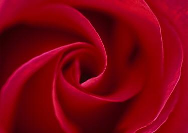 Rose (Rosa sp) petal whorl  -  Stephen Dalton