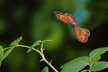 Gatekeeper (Pyronia tithonus) butterfly flying  -  Stephen Dalton
