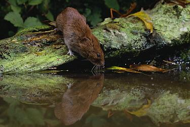Bank Vole (Clethrionomys glareolus) drinking  -  Stephen Dalton